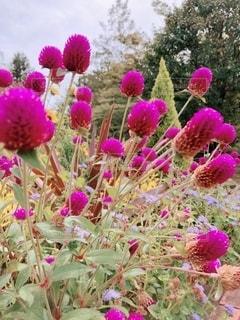 紫色の花のグループの写真・画像素材[3641400]