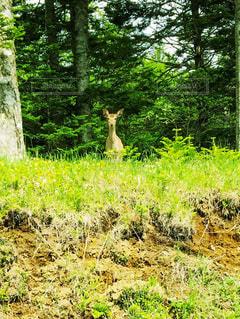 森の中から現れたシカの写真・画像素材[3601969]