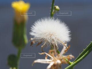 タンポポの綿毛のクローズアップの写真・画像素材[3609429]