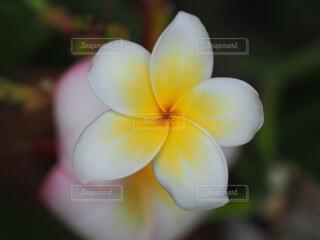 プルメリアの花のクローズアップの写真・画像素材[3682107]