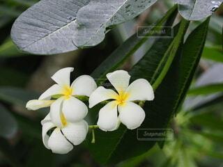 プルメリアの花の写真・画像素材[3682120]