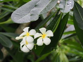 プルメリアの花の写真・画像素材[3682152]