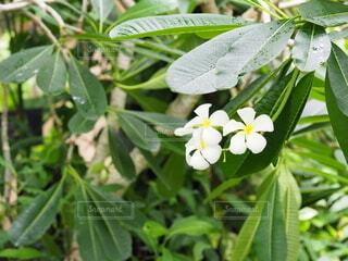 プルメリアの花の写真・画像素材[3682154]