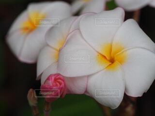 プルメリアの花の写真・画像素材[3682156]