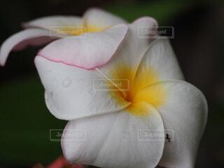 プルメリアの花の写真・画像素材[3682157]