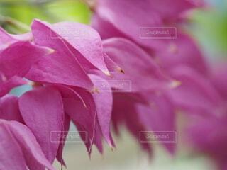 ピンクの花のクローズアップの写真・画像素材[3682338]