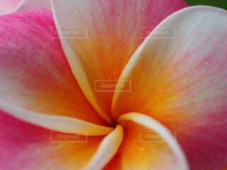 プルメリアの花のクローズアップの写真・画像素材[3682352]