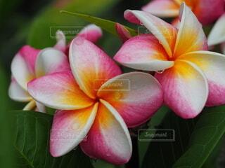 プルメリアの花の写真・画像素材[3682357]