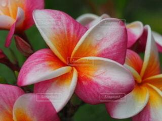 プルメリアの花の写真・画像素材[3682356]