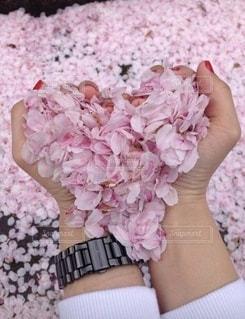 桜のハートの写真・画像素材[3551287]
