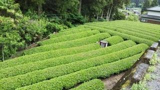 茶摘みを待つ茶畑の写真・画像素材[3635927]