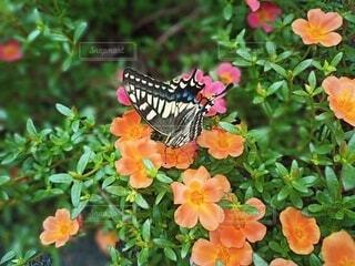 アゲハ蝶のファッション、赤と青のスカートにピンクとオレンジの花びらのアクセサリーが引き立たせる。の写真・画像素材[3647464]