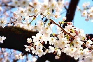 桜の写真・画像素材[3578139]