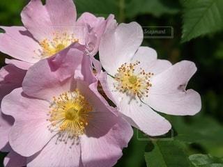 薄いピンクの花の写真・画像素材[3566174]