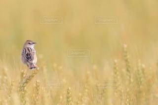 麦畑にいた1羽のセッカの写真・画像素材[3566089]