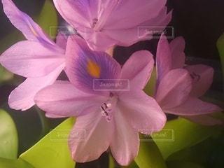 ホテイアオイの花の写真・画像素材[3574913]
