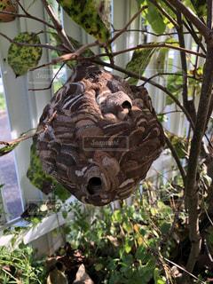 庭に出来たスズメバチの巣の写真・画像素材[3584759]