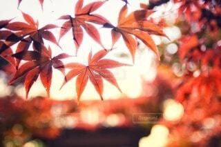 紅葉の写真・画像素材[3656429]