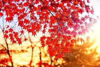 紅葉の写真・画像素材[3656435]