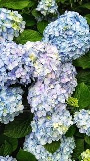 咲き誇る紫陽花の写真・画像素材[3730733]