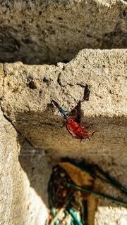 ゴキブリの子供を狩る昆虫の写真・画像素材[3806241]