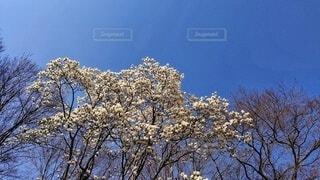 満開のハクモクレンの写真・画像素材[4245007]