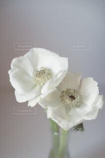 テーブルの上の花 白いアネモネの写真・画像素材[4114509]