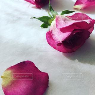 ピンクの写真・画像素材[350780]
