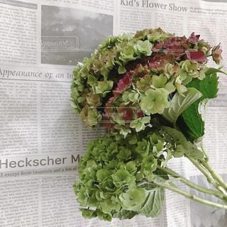 紫陽花の写真・画像素材[537092]