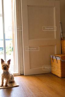 ウィンドウの横に座っている茶色と白犬の写真・画像素材[1443975]