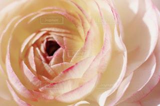 バラをクローズアップするの写真・画像素材[2852259]