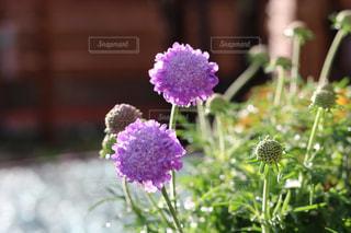 植物の紫色の花のクローズアップの写真・画像素材[3286567]