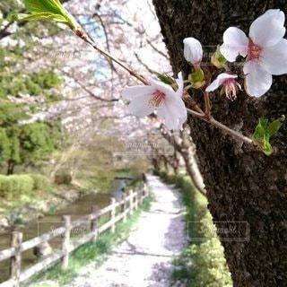 桜の小道の写真・画像素材[3590263]