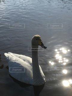 水の体で泳ぐ白鳥の写真・画像素材[3590260]
