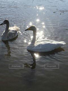 白鳥の写真・画像素材[3590262]