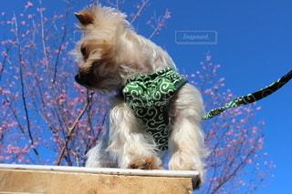 衣装を着た犬の写真・画像素材[3581387]
