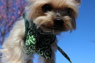 衣装を着た犬の写真・画像素材[3581388]