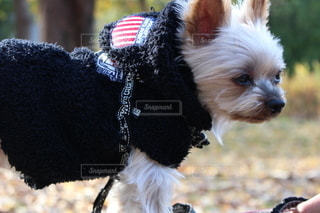ひもで小さい犬の写真・画像素材[3581395]