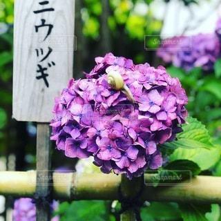 紫の紫陽花とカタツムリの写真・画像素材[3583172]