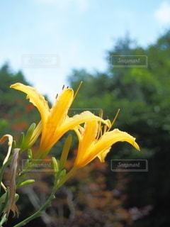 夏に咲く黄色い百合の写真・画像素材[3591794]