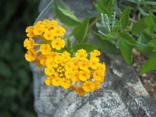 黄色いランタナの写真・画像素材[3608312]