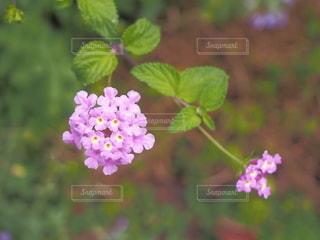 ピンクのランタナの写真・画像素材[3608335]