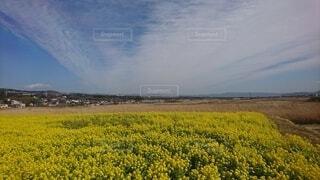菜の花畑の写真・画像素材[4187584]