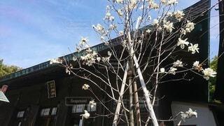 神社のハクモクレンの写真・画像素材[4225636]