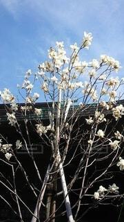 白木蓮の写真・画像素材[4225634]