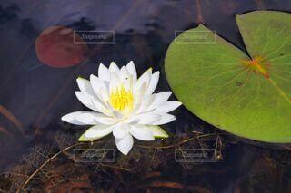 スイレンの花の写真・画像素材[3704002]