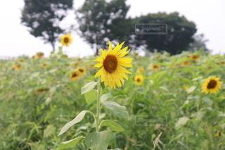 終わりかけのひまわり畑の写真・画像素材[3607823]