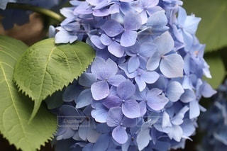 紫陽花のクローズアップの写真・画像素材[3607840]