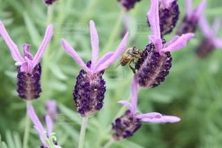蜂が止まったラベンダーの写真・画像素材[3607882]