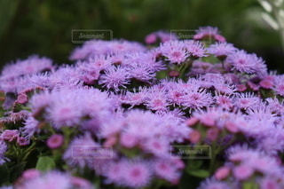 ピンクの花のクローズアップの写真・画像素材[3611405]